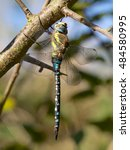 Small photo of Migrant Hawker dragonfly in the autumn sun.