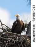 Small photo of Bald eagle (Haliaeetus leucocephalus) on nest, Three lakes WMA, Florida, USA