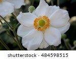 Anemone Hybrida 'honorine...
