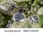 Small photo of Dovekie (Alle alle) in Least Auklet colony, St. George Island, Alaska, USA