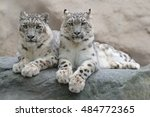 pair of snow leopard with clear ... | Shutterstock . vector #484772365