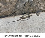 Pair Of Viviparous Lizards  ...
