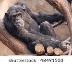 Portrait of an old male Schimpanzee 02 - stock photo