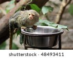 Pygmy Marmoset - stock photo
