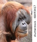 close view of an old male Orangutan 02 - stock photo