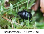 Dung Beetle In Forest. Small...