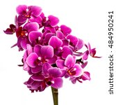 blooming pink orchid with many... | Shutterstock . vector #484950241