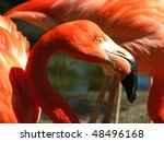 Close-up view of a Greater Flamingo 02 - stock photo