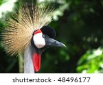 Close-up view of a Black Crowned Crane 02 - stock photo