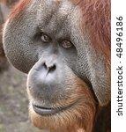 Old male Orangutan 03 - stock photo
