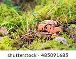 hydnellum peckii   mushroom in... | Shutterstock . vector #485091685