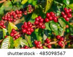 coffee beans ripening on tree... | Shutterstock . vector #485098567