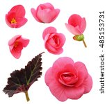 Set Of Pink Begonia Flowers ...