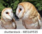 Two Beautiful Barn Owls. The...