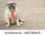 Funny Face Of Fawn Pug Dog Wit...
