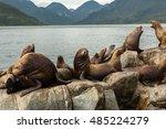 Rookery Steller Sea Lions....