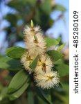 Melaleuca   Genus Of Nearly 30...
