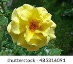 Stock photo beautiful yellow rose in the garden 485316091