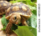 Small photo of African Spurred Tortoise in the garden, African spurred tortoise eating ,Funny Cute Baby Animal