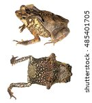 crested forest toad  rhinella...   Shutterstock . vector #485401705