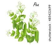 pea   pisum sativum . hand... | Shutterstock .eps vector #485422699