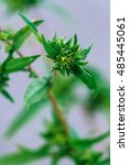 Small photo of Ragweed or ambrosia plant, its pollen is notorious for causing allergic reactions in humans, selective focus