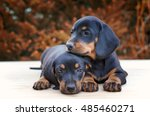Stock photo love puppies together dog best friend friendship between two dogs dachshund puppies shallow 485460271