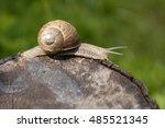 A Common Garden Snail Climbing...