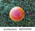 Small photo of Poisonous little red amanita mushroom