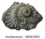 Fossilized Ammonite Shell ...