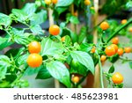 Small photo of Aji Charapa, Charapita,Wild Peruvian Chili Pepper or Lost Incan Pepper.Wild and small ripe orange chilli in greenhouse,Finland.Originating from the northern region of the Peruvian jungle. Rare species