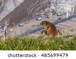Alpine Marmot Standing On The...