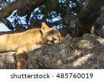 Lion Cub Restin  Sleeping On A...