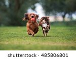 Stock photo two small dogs playing together outdoors 485806801
