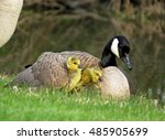 Canada Goose And Goslings....