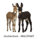 Two donkeys foal  baudet du...