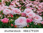 Stock photo background of bouquet of pink blooming rose bush 486179104