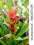 Small photo of Bromeliad or Urn Plant (Aechmea fasciata) kind of local Brazil Plants.