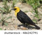 Small photo of Yellow-headed Blackbird