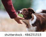 Stock photo brown border collie puppy brought the ball hostess and lays down his hand dog playing in the game 486251515