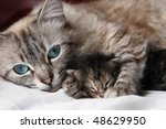 Stock photo cat and her kitten 48629950