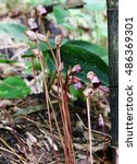 Small photo of Aeginetia indica flower at forest