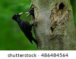 Woodpecker With Chick In The...