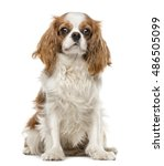 Small photo of Cavalier King Charles Spaniel sitting, 1 year old, isolated on white