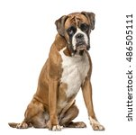 Stock photo boxer years old sitting on white background 486505111