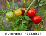 Green And Red Cherry Tomatoes...