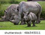 southern white rhinoceros ... | Shutterstock . vector #486545011