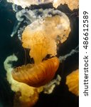 Small photo of Sea nettle jellyfish (Chrysaora hyoscella) adrift in deep water
