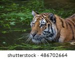 tiger is swimming | Shutterstock . vector #486702664
