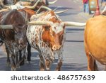 Long Horn Cattle On Streets Of...